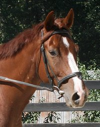 Chestnut Thoroughbred horse for sale at Bits & Bytes Farm.