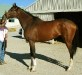 Antioch - Thoroughbred horse for sale - Four white stockings