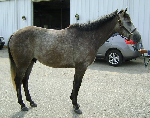 Cadeau- grey Thoroughbred horse for sale