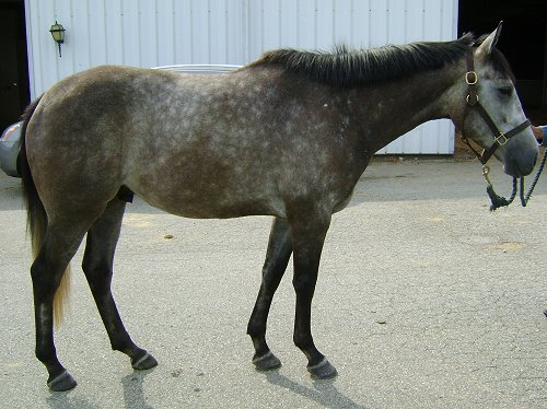 Cadeau- gray Thoroughbred horse for sale