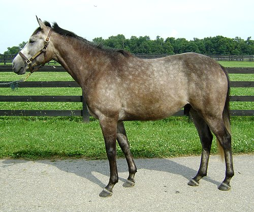 Cadeau  - grey Thoroughbred horse for sale