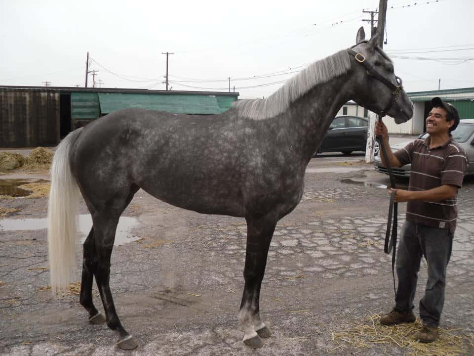 """Chillie"" is a dappled grey filly with a white mane and tail"