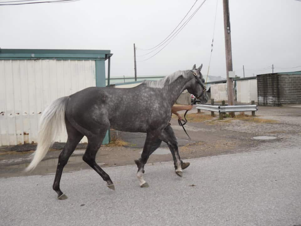 Chillie is a 2009, 16 hand gorgeous dappled grey filly.