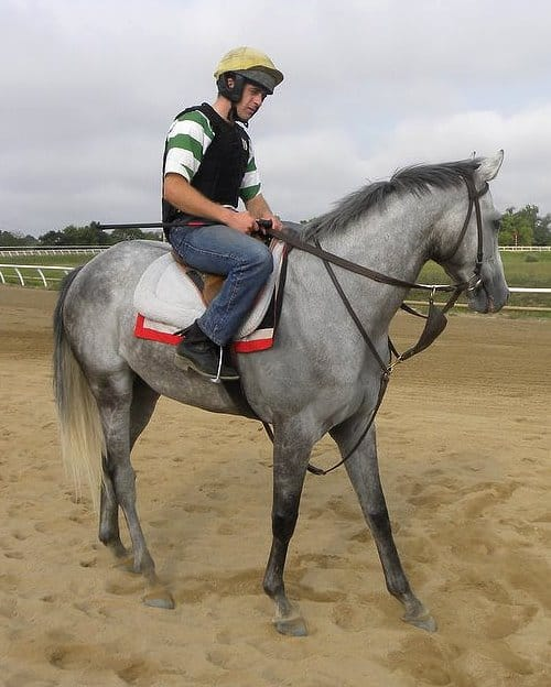 Detroit Andy - Grey Horse for sale