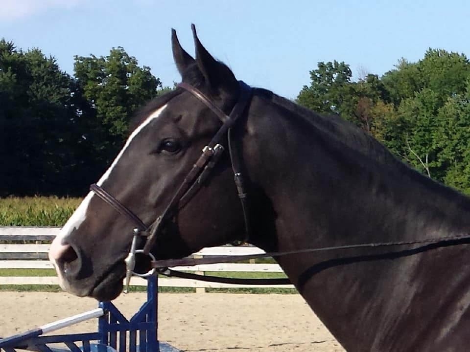 """Doc"" is an almost black 2010 Thoroughbred Gelding for sale on our Prospect Horses for sale page."