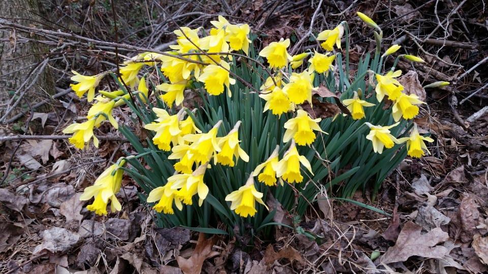 daffodils20150216
