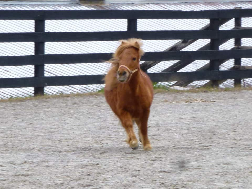 Lacy the miniature horse at Bits & Bytes Farm