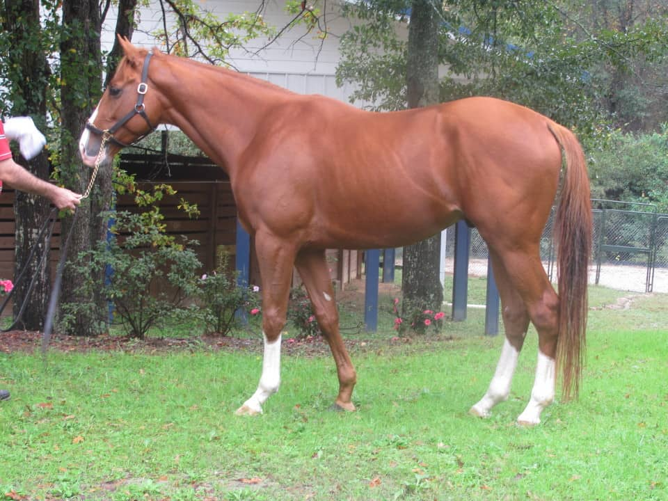 """""""Mark"""" is a chestnut Thoroughbred Horse For Sale with lots of chrome"""