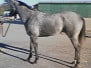 Monarch's Reign - SOLD! Gray Thoroughbred Horse For Sale!
