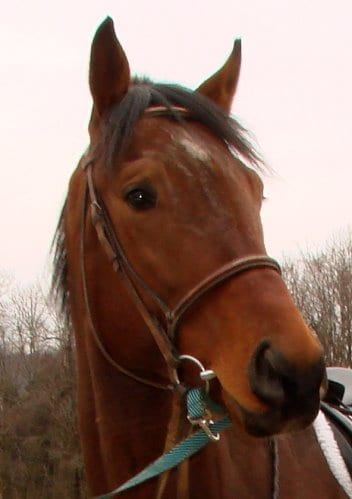 Four year old Thoroughbred gelding for sale.
