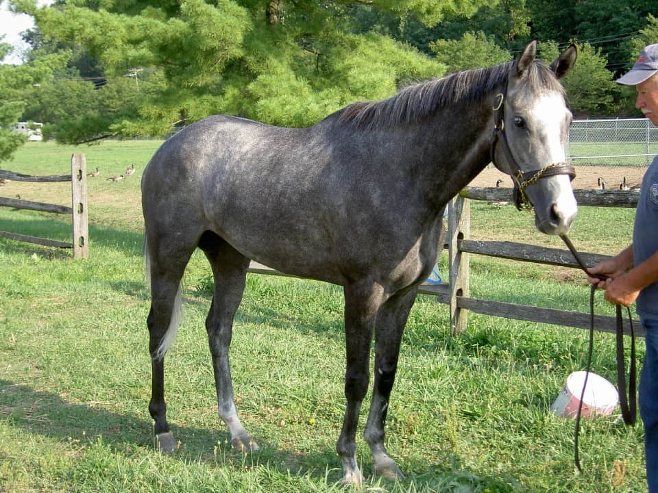 My Isabell is a gray Thoroughbred horse for resale