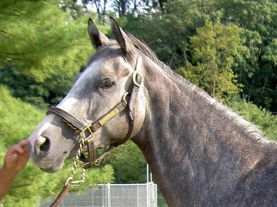 Isabell is a new gray Thoroughbred horse for sale