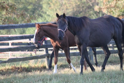 Thoroughbred foal and mom in Kentucky