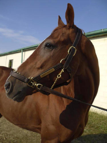Destin - 2007 chestnut Thoroughbred colt for sale