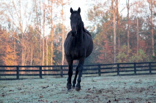 Popular Five - Throughbred Horse For Sale