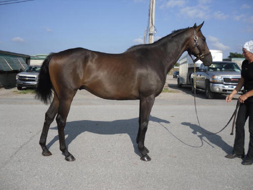 Popular Five - Great sport horse prospect for dressage or jumping - SOLD!