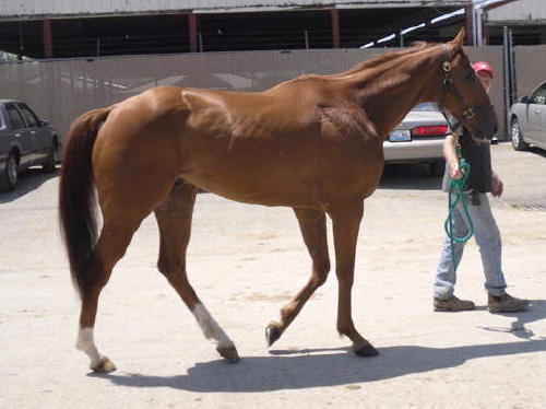 Ridge is a 2005, 16'1+ hand Thoroughbred gelding for sale