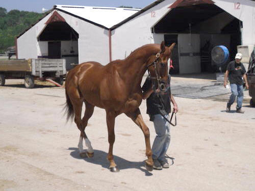 Ridge is a 2005, 16\'1+ hand Thoroughbred gelding for sale