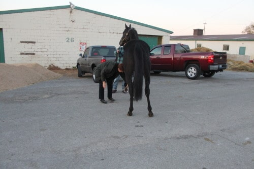 Ron is a black Thoroughbred horse for sale9