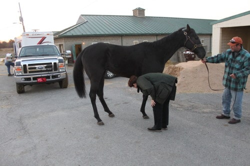 Ron is a black Thoroughbred horse for sale