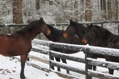 Thoroughbreds  in snow