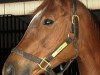 Thoroughbred Horse For Sale - Titania