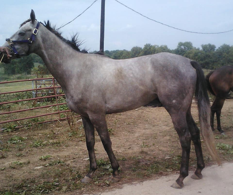 """Var"" - Grey Thoroughbred Horse For Sale"