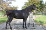 Great Game is a black Thoroughbred mare for sale.