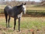 Grey Thoroughbred gelding for sale