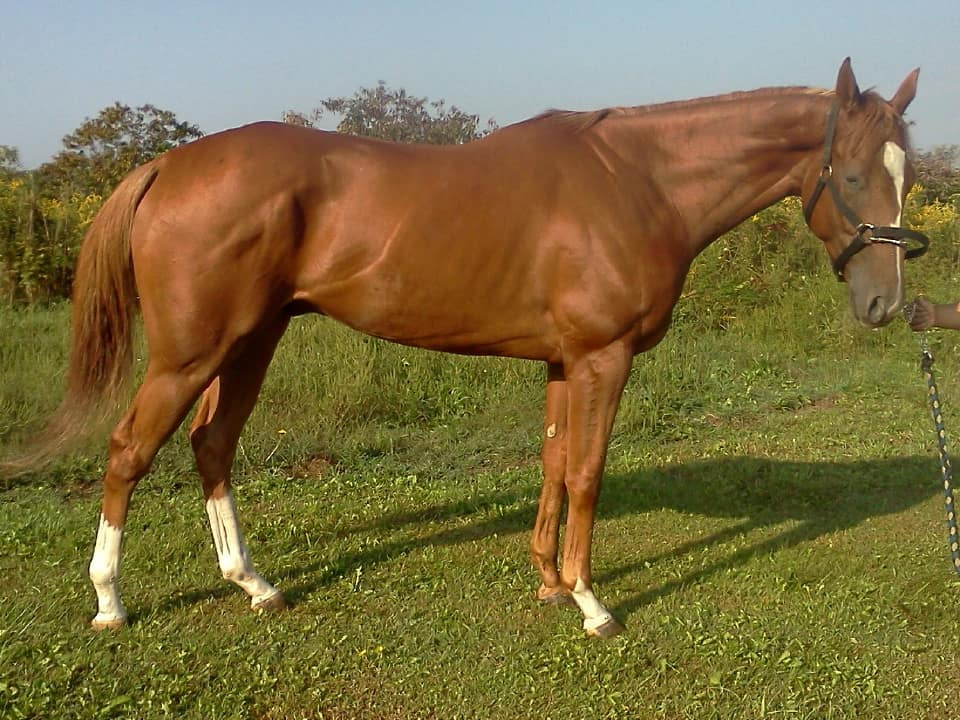 """Freeby"" - 16 hand chestnut Thoroughbred gelding"