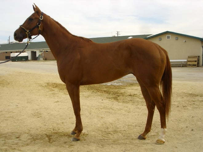 """Encore"" - 16.3 hand chestnut Thoroughbred gelding for sale"