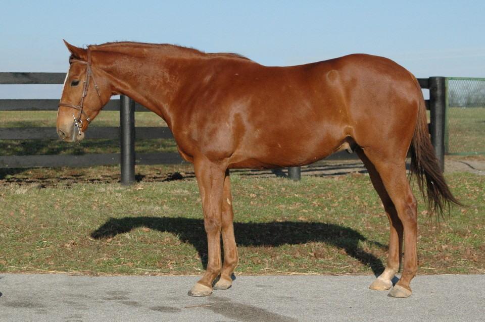 Brassador - Thoroughbred Horse for sale