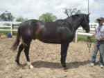 Tropical Don - Thoroughbred Horse For Sale