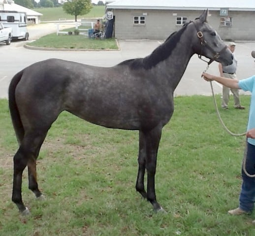 Clara J - Grey Thoroughbred Filly For Sale
