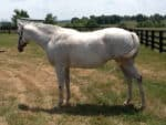 Rumcake - Grey Thoroughbred Mare For Sale