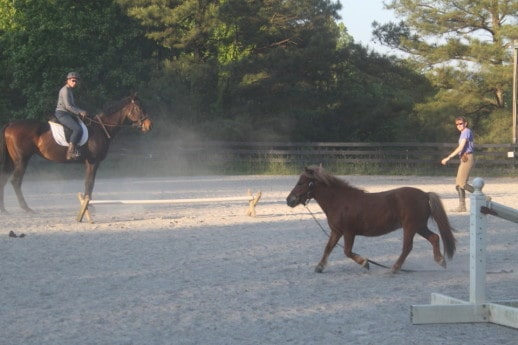 Miniature horse running loose