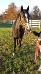 """""""Doc"""" - Almost black Thoroughbred Horse for sale"""