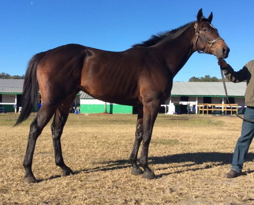 """""""Chant"""" is a 2009 Thoroughbred Horse For Sale"""