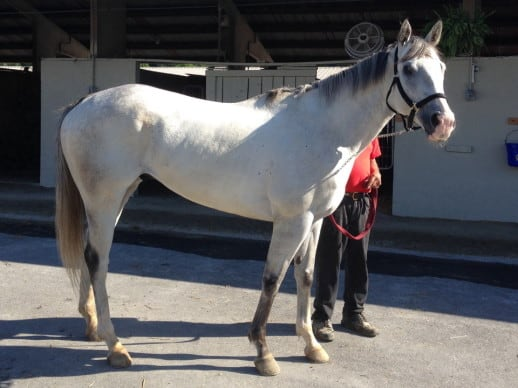 """""""Chief"""" - Bargain priced grey Thoroughbred horse for sale"""