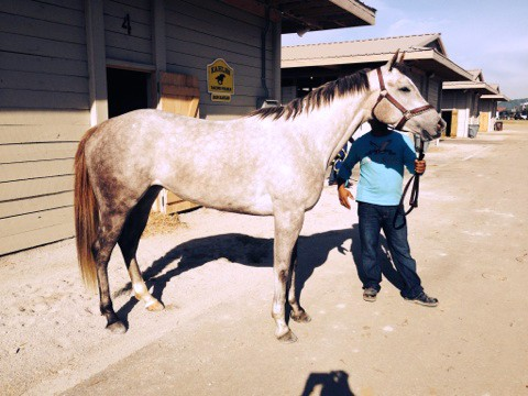 """Katie"" - Grey Thoroughbred Filly for sale"