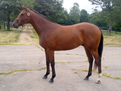 Striker is a 3 year-old Thoroughbred horse for sale directly from his breeder.