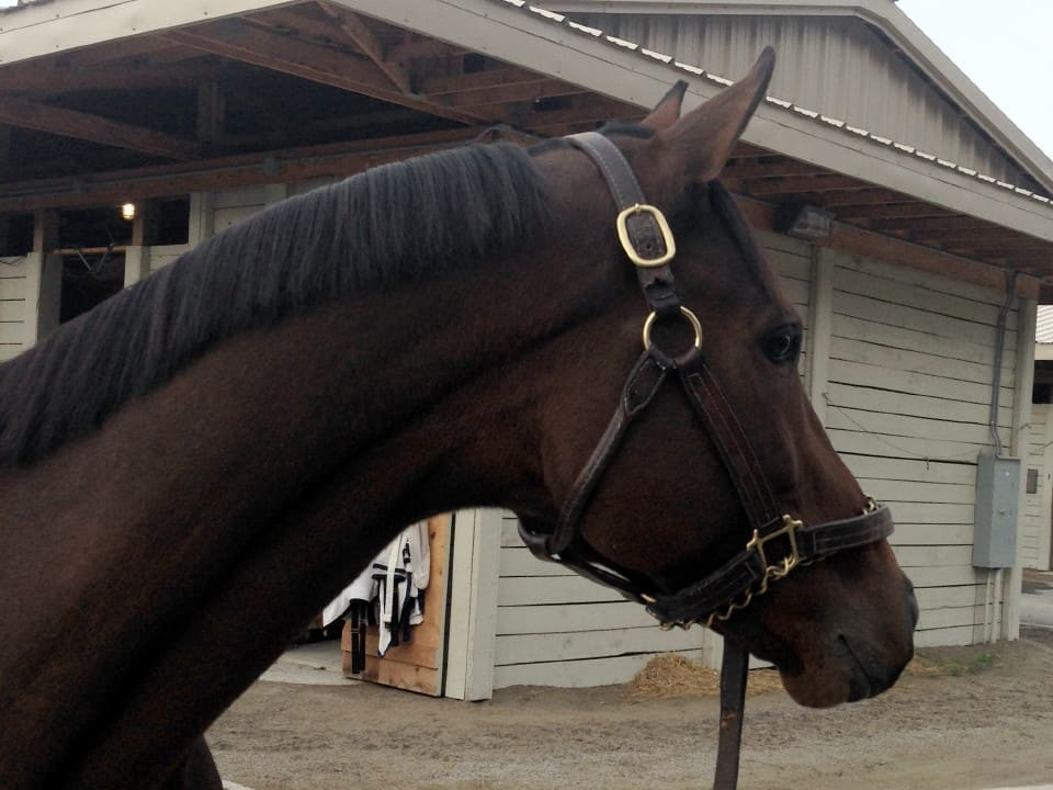 """Ferdie"" - Thoroughbred horse for sale - Competition Prospect"