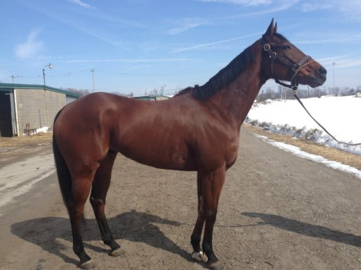 """""""Siggy"""" - Thoroughbred horse for sale"""