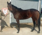 """""""Collio"""" - Beautiful Bay Thoroughbred Horse For Sale from the Track"""