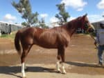 Is The One - Thoroughbred with four white stockings - for sale