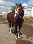 """Is the One"" flashy Thoroughbred horse for sale."