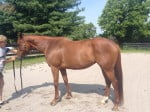 Bit of Heaven - Large Thoroughbred Mare for sale from Bits & Bytes Farm
