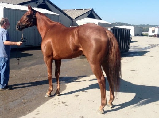 """Indiana Man""- Price Reduced - 2009 Chestnut Thoroughbred Gelding For Sale"