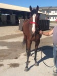 """""""Max"""" - Five Year-old Thoroughbred gelding for sale"""