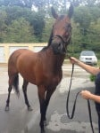 """Rummy"" is a 2010 bay Thoroughbred mare for sale"